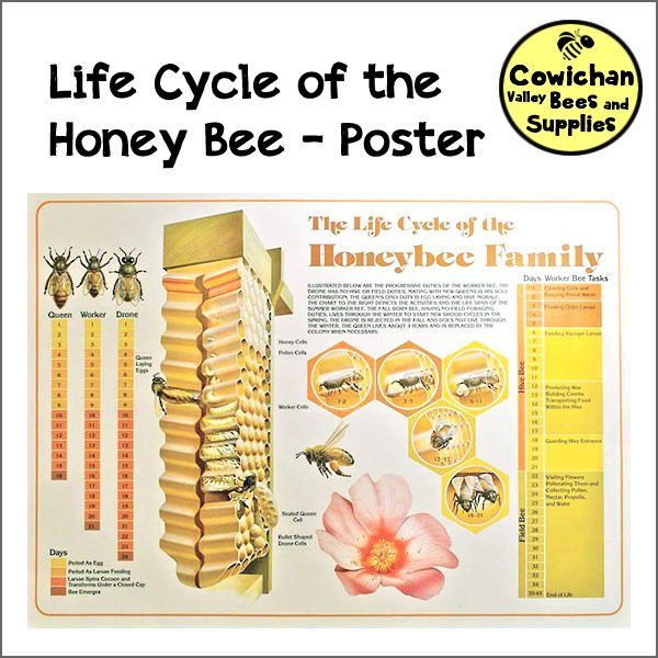 Poster: Life Cycle of the Honeybee Family